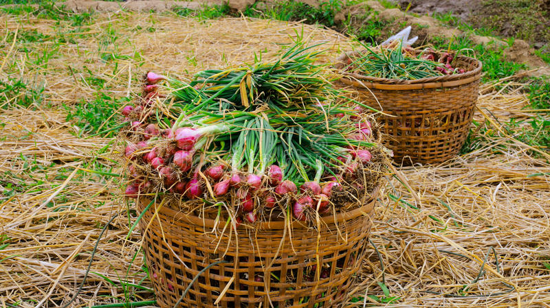 Farmland filled with onions stock photo