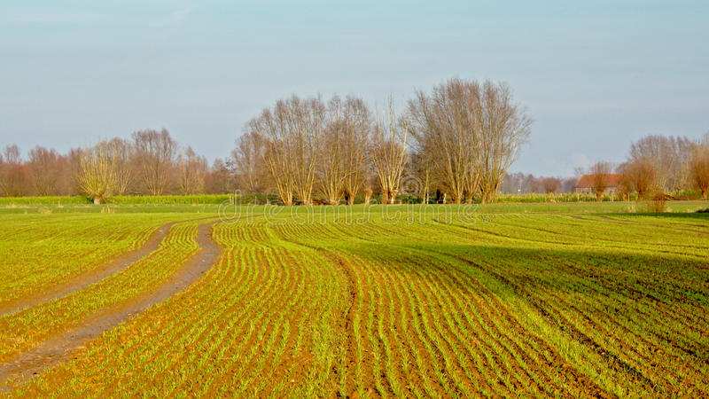 Farmland in the Flemish countryside. Agricultural landscape with young sprouting plants and pollarded willows in the background royalty free stock photography