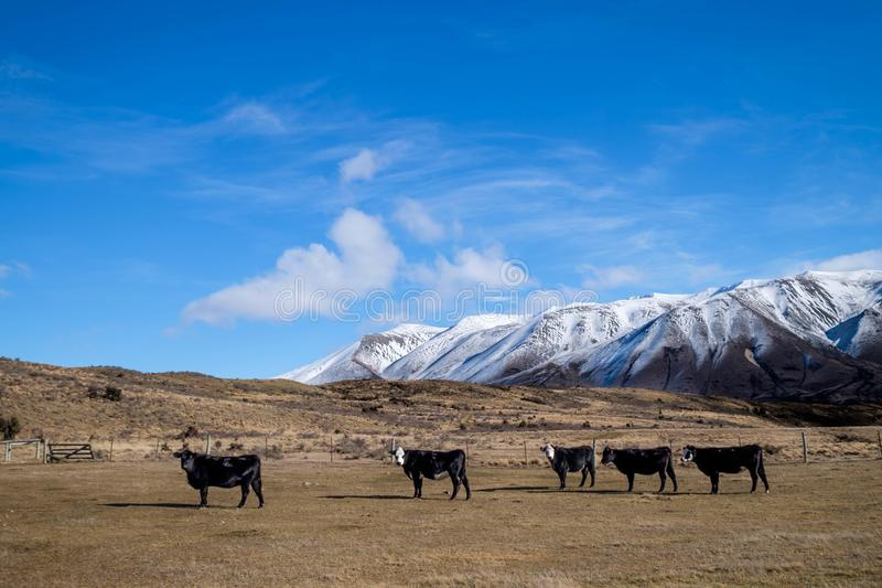 Farmland with cows and snow mountain on background in south island, New Zealand royalty free stock image