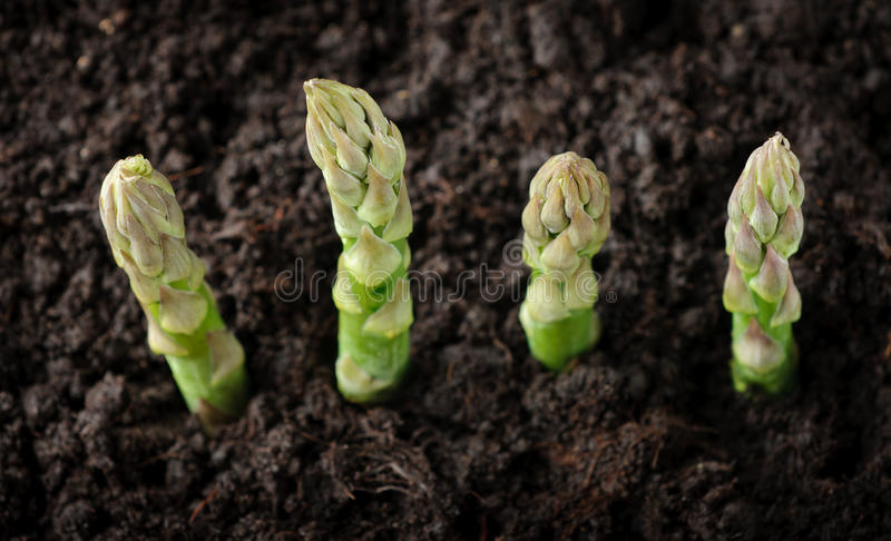 Download Farmland With Green Asparagus Stock Image - Image: 19974263