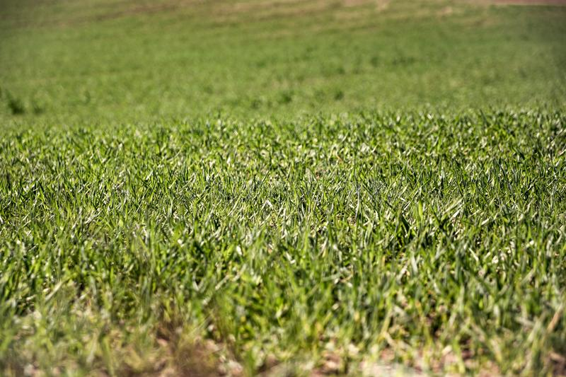 Farmland and industries background. Sprouts of wheat at crops. Sunlight fresh stock image