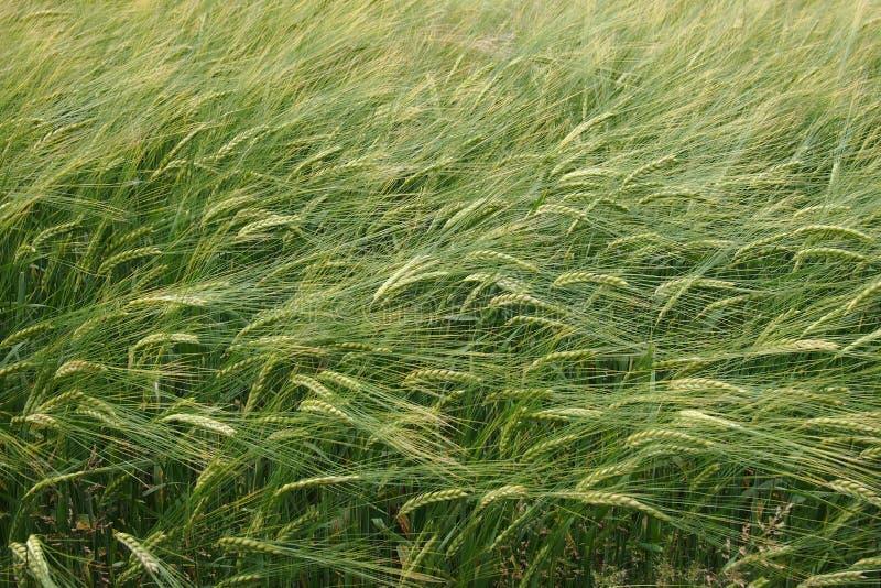 Farmland wheat field. A vast farmland with wheat. SOOC JPG stock photos