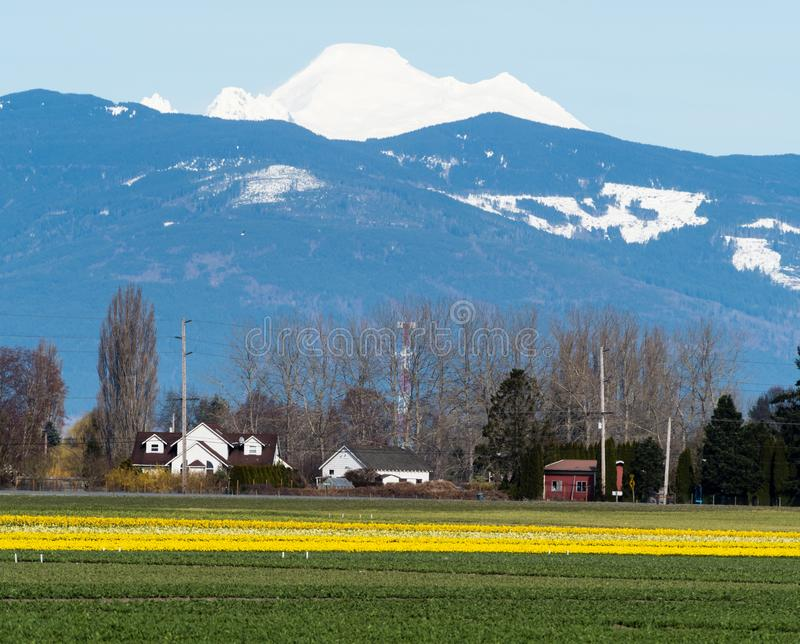 Farmlands with daffodil fields in Washington state, USA. Skagit Valley farmlands in spring with blooming daffodil fields and Mount Baker on the background stock photo