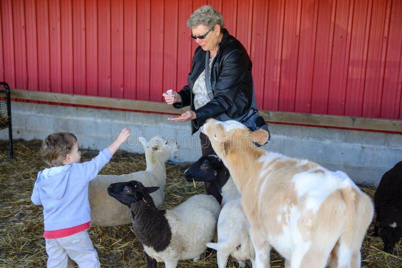 Farmor hjälpande djur för en lantgård för pojke matande fotografering för bildbyråer