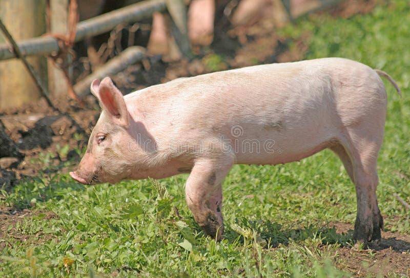 A Farmyard Piglet. A freerange young pig roaming around the farmyard royalty free stock photography