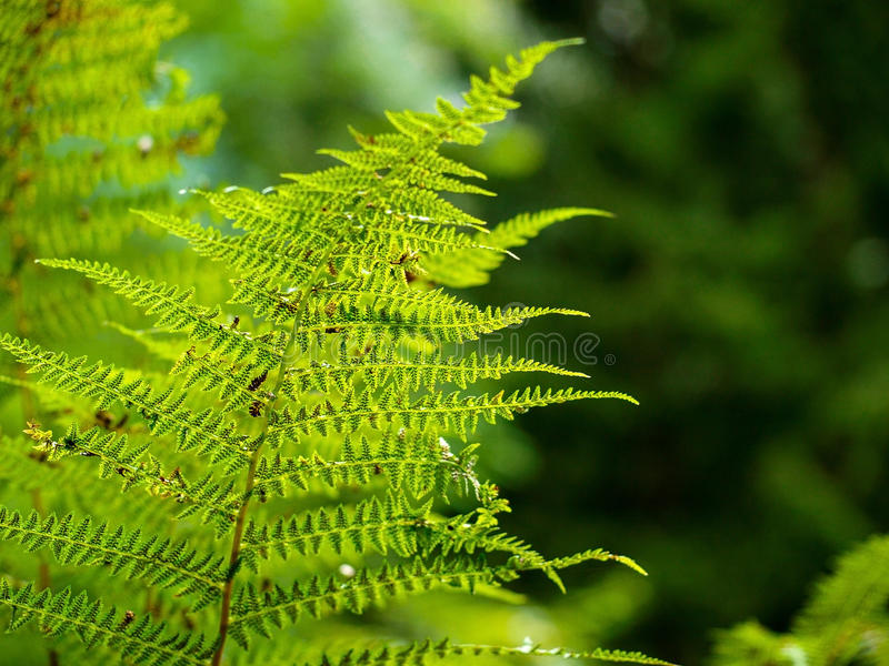 Farn, der im Sommerwald das sun& x27 wächst; s-Strahlen überschreiten durch die Anlage und liefern angenehmen Schatten stockfotos