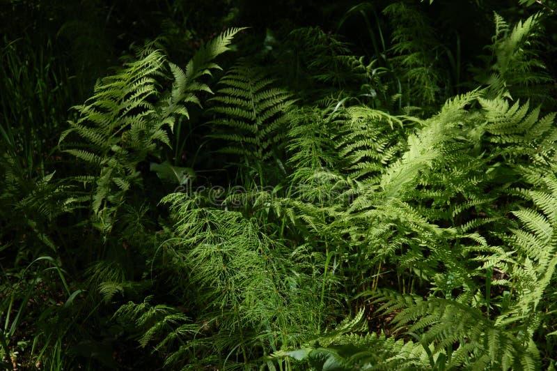 Farn im Wald lizenzfreie stockfotografie