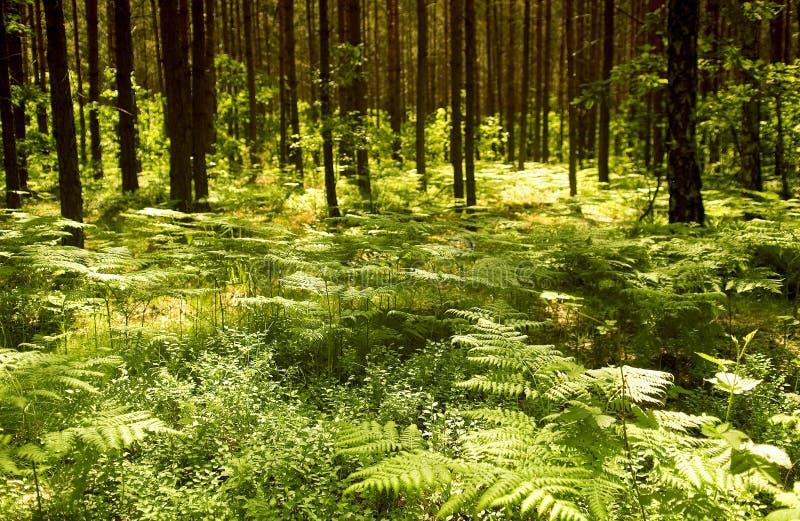 Farn im Wald und Sonnenlicht stockfoto