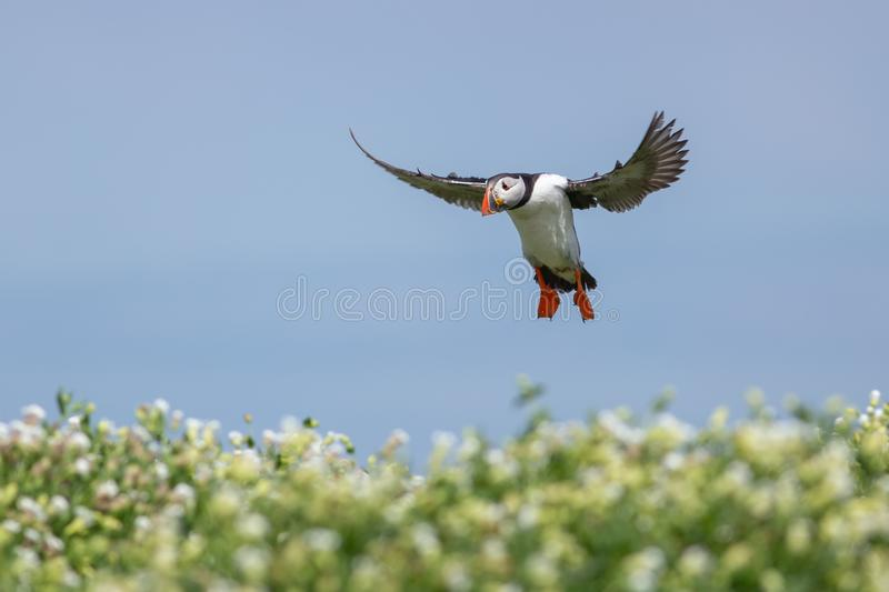 Puffin landing on the green grass. On the farn islands this puffin is landing on the green grass stock images