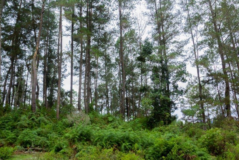Farnbaum Cyathea podophylla im Wald von Samosir-Insel, Medan, Indonesien stockfoto
