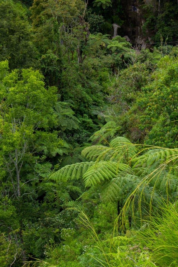 Farnbaum Cyathea podophylla im Wald von Samosir-Insel, Medan, Indonesien stockfotografie
