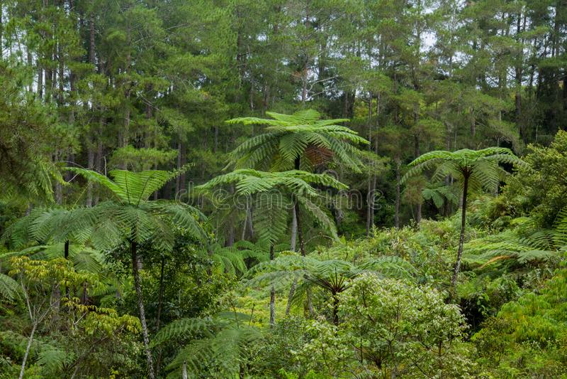 Farnbaum Cyathea podophylla im Wald von Samosir-Insel, Medan, Indonesien stockbild