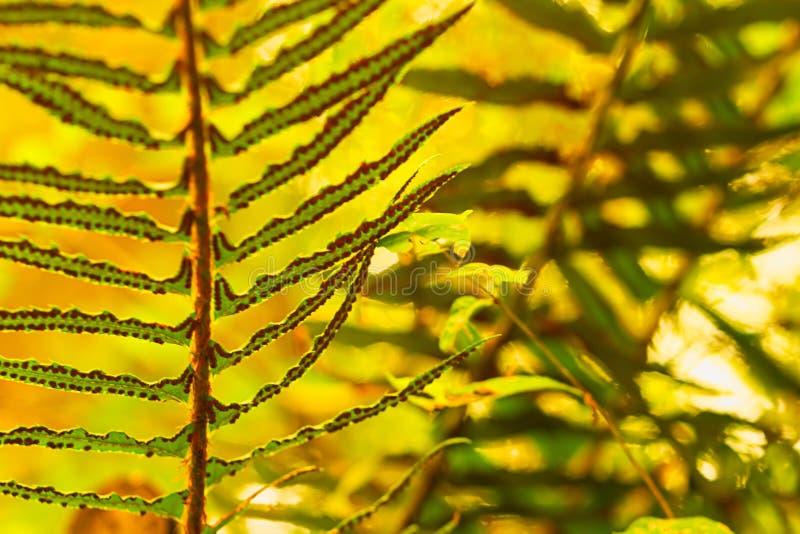 Farne, die herein im hellen gelben Sonnenlicht am Sommernachmittag stehen stockfoto