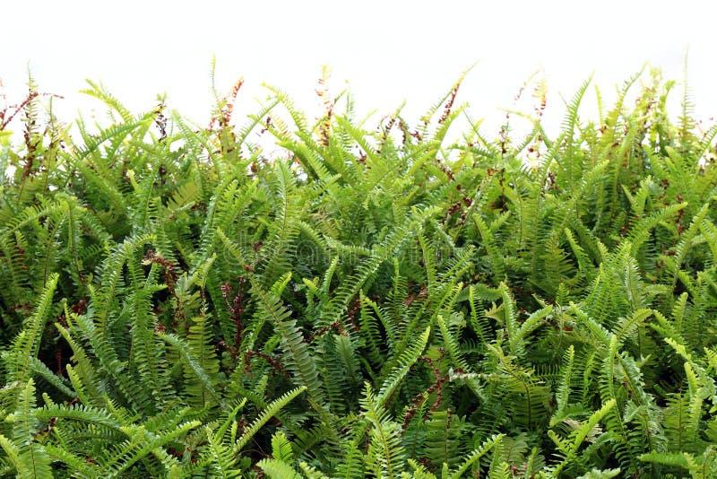 Farntapete, neue Natur des Farnblatthintergrundbaumgrünzusammenfassungswaldfarns auf weißer Wand lizenzfreies stockfoto