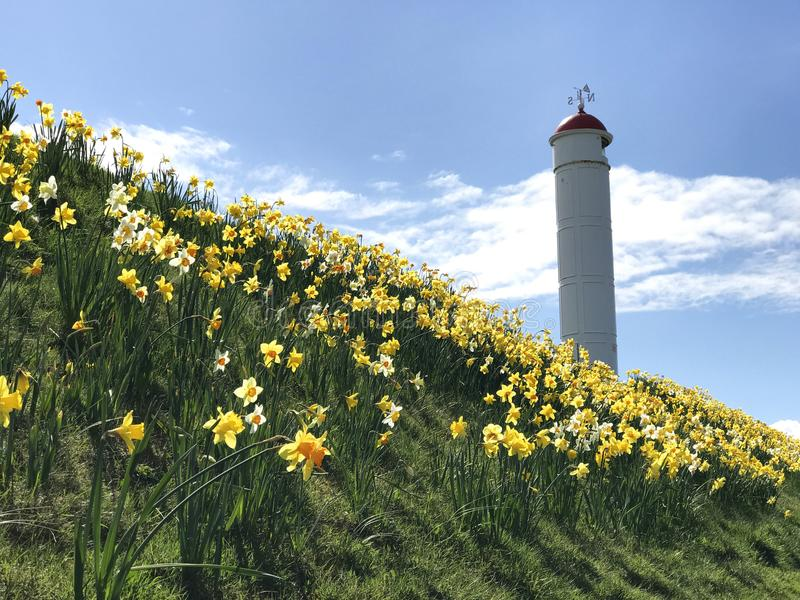 Faro de Buckie y narcisos amarillos imagen de archivo libre de regalías