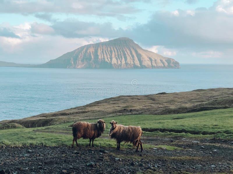 Faroe Island - får och berg arkivbild