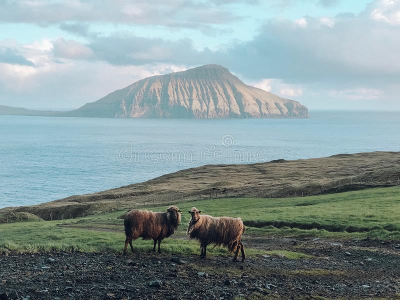 Faroe Islands - sheep and mountains stock photography