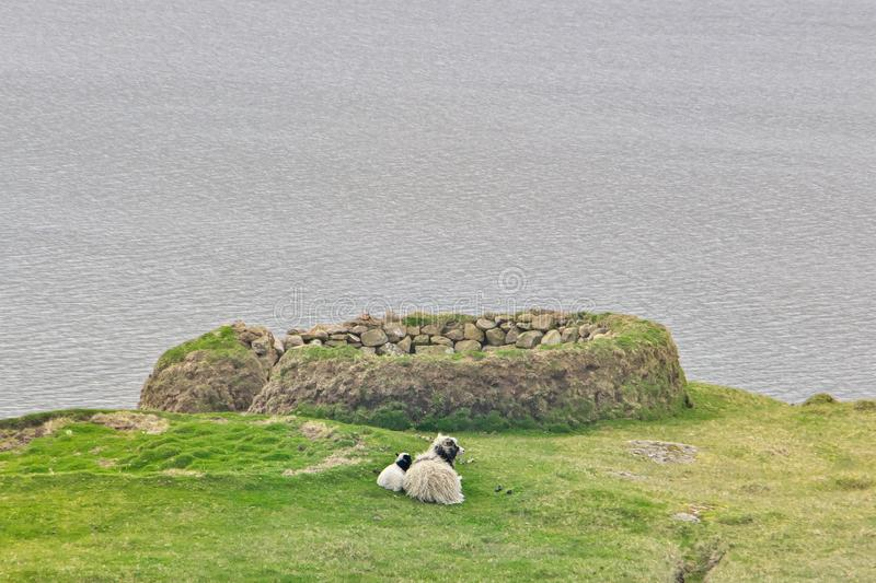 Faroese ewe sheep with cute little lamb laying on a green field. Faroese ewe sheep with cute little lamb laying on a green field on the Island Vágar of the royalty free stock image