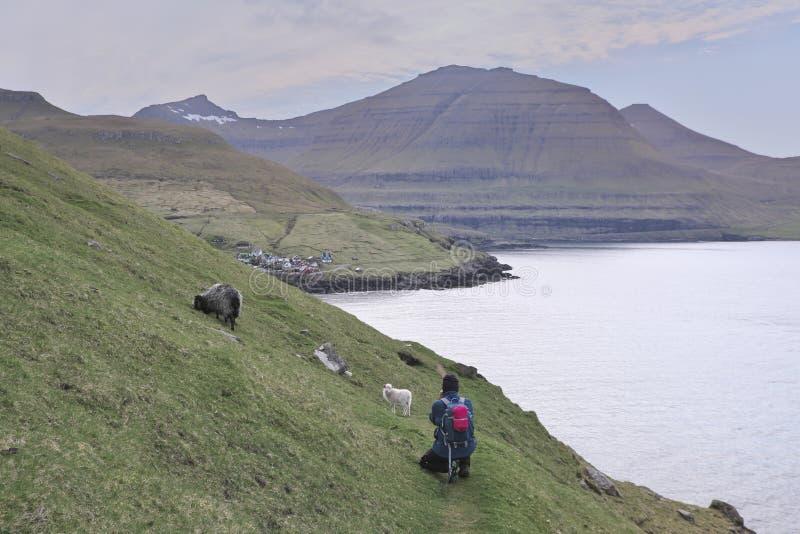 Faroese krajobraz z pięknymi górami z Ślicznym małym białym barankiem fotografia stock