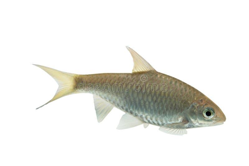 Farpa do brevisSwamp de Puntius, peixe cru fresco isolado na parte traseira do branco fotografia de stock royalty free