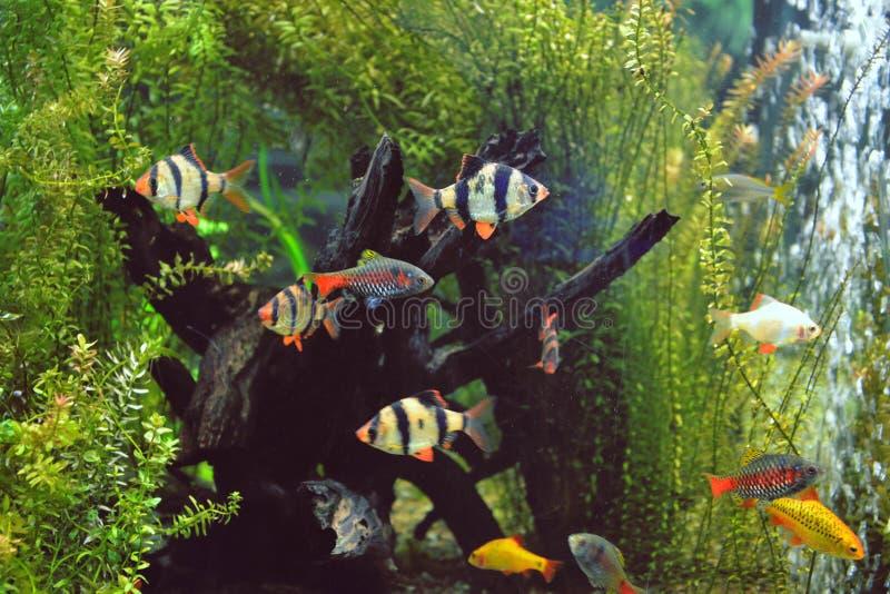 Farpas de Sumatran no aquário fotografia de stock