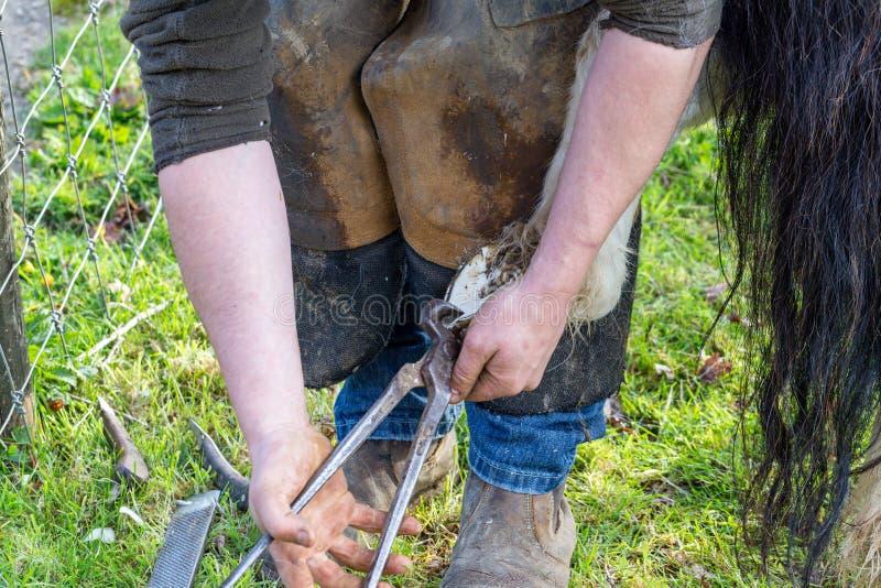 Farrier que trabalha nos cascos de um p?nei de Shetland imagens de stock