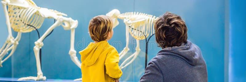 Farsan och sonen håller ögonen på skeletten av forntida och modernt folk Mänsklig evolution är den evolutions- processen det arkivfoto