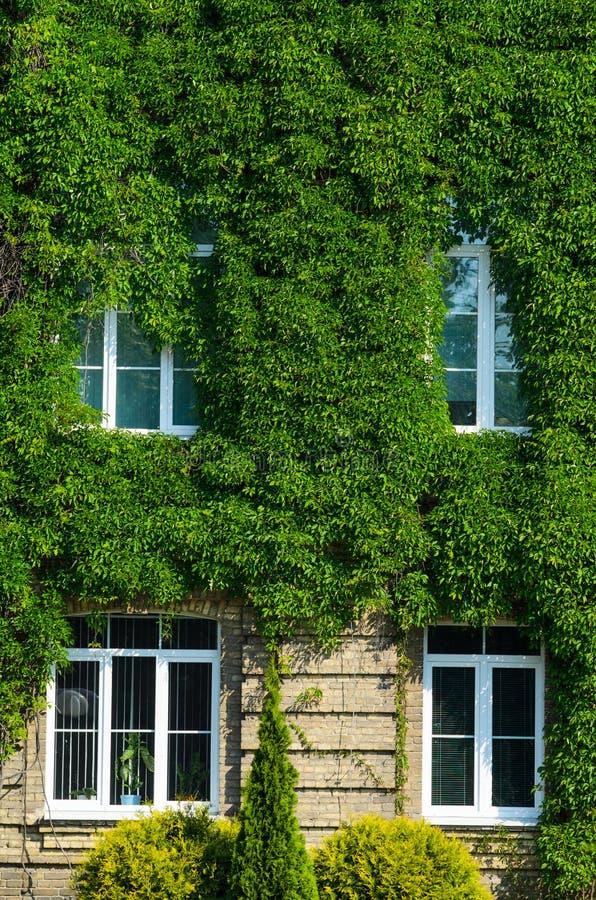 Fasaden av byggnaden täckas med murgrönan royaltyfri fotografi