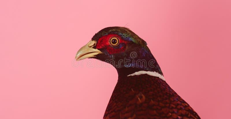 fasan Außer den Tieren Geflügelfleisch Schöner Vogel Züchtung von wilden Vögeln auf dem Bauernhof Natürliche gesunde Nahrung stockbilder