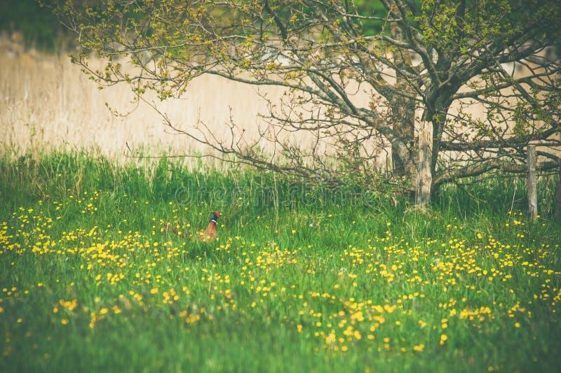 Fasan auf einer Wiese im Sommer stockbild