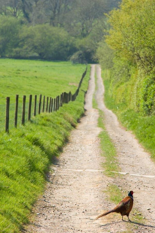 Fasan in der englischen Landschaft lizenzfreies stockfoto