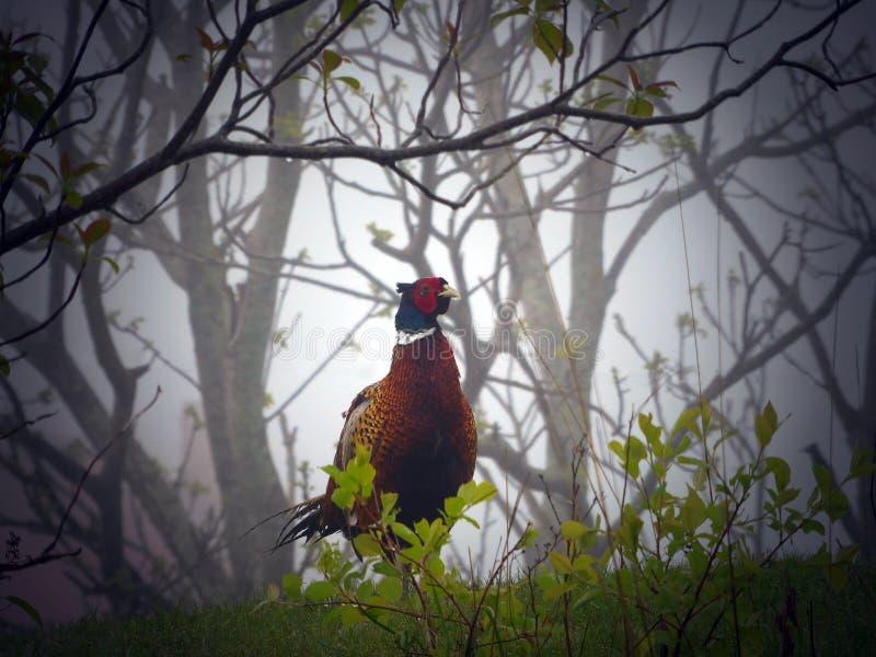 Fasan, der im Nebel steht stockfotografie