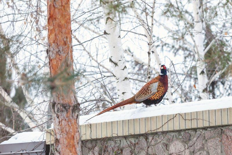 Fasan mit dem langen Schwanz sitzt auf schneebedecktem Steinzaun stockfoto