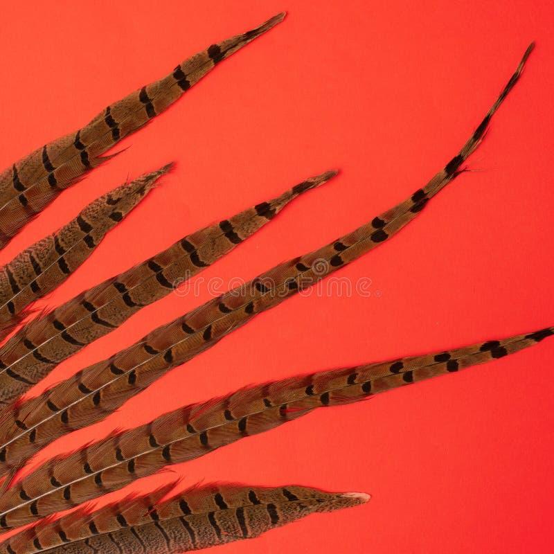 Fasan Phasianus colchicus Federn auf rotem Hintergrund lizenzfreie stockfotos