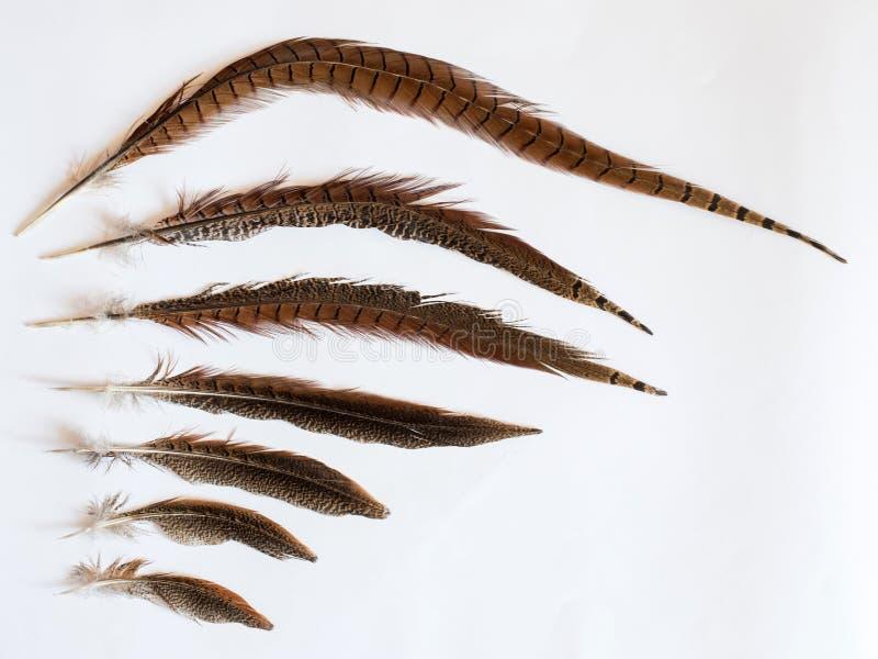 Fasan Phasianus colchicus Federn auf weißem Hintergrund lizenzfreie stockfotos
