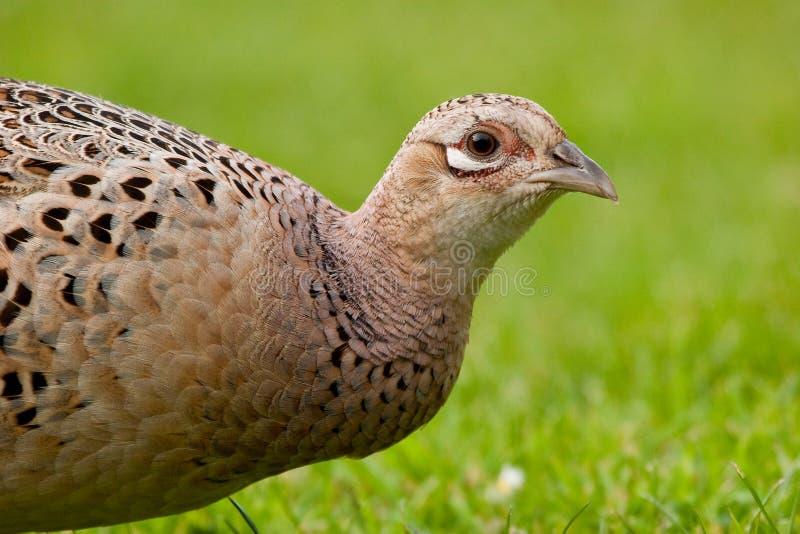 Fasan-weibliche Profil-Ansicht des Henne-Fasans stockbilder