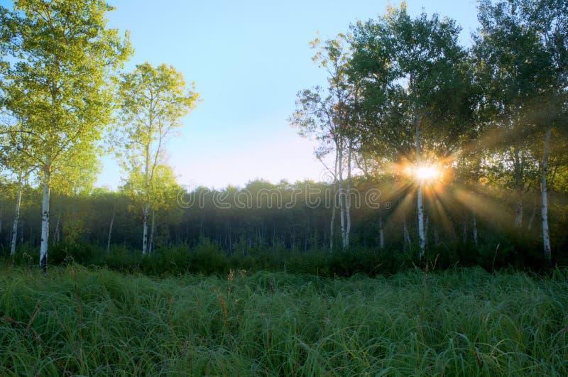 Fasci drammatici di Sun in Aspen Meadow nebbioso fotografia stock libera da diritti