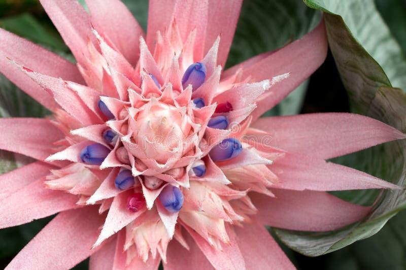 Download Fasciata bromeliad aechmea стоковое фото. изображение насчитывающей цветок - 18398934
