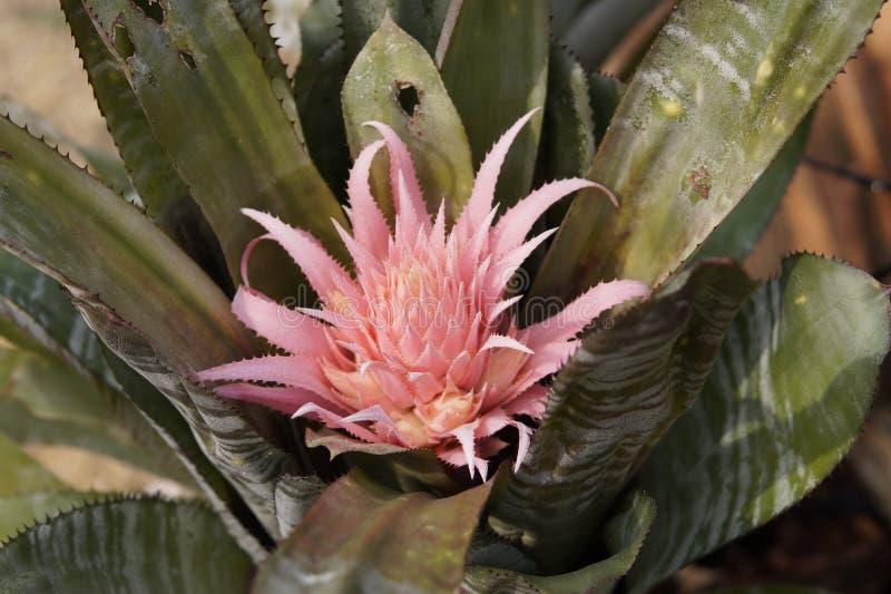 Fasciata d'Aechmaea images libres de droits