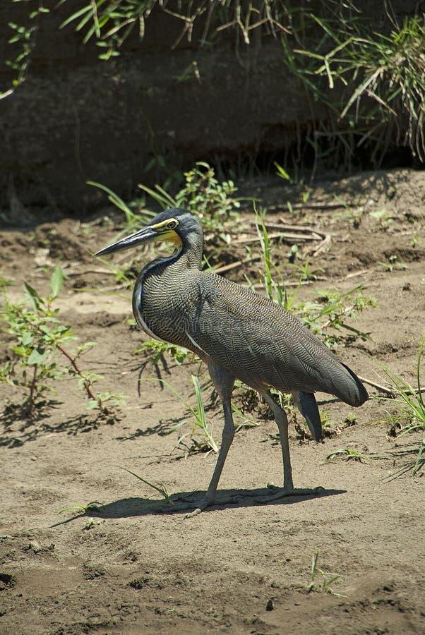 Costa Rican Bird stock images