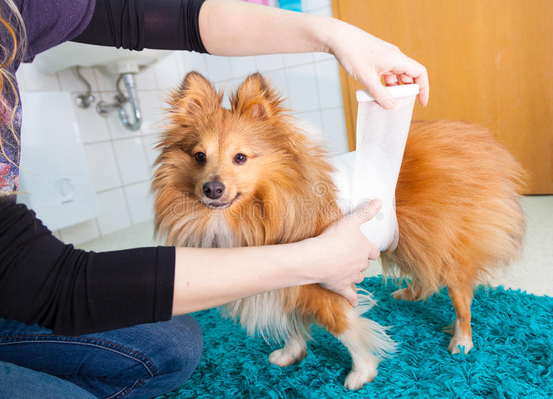 fasciatura umana un cane pastore di Shetland fotografie stock libere da diritti