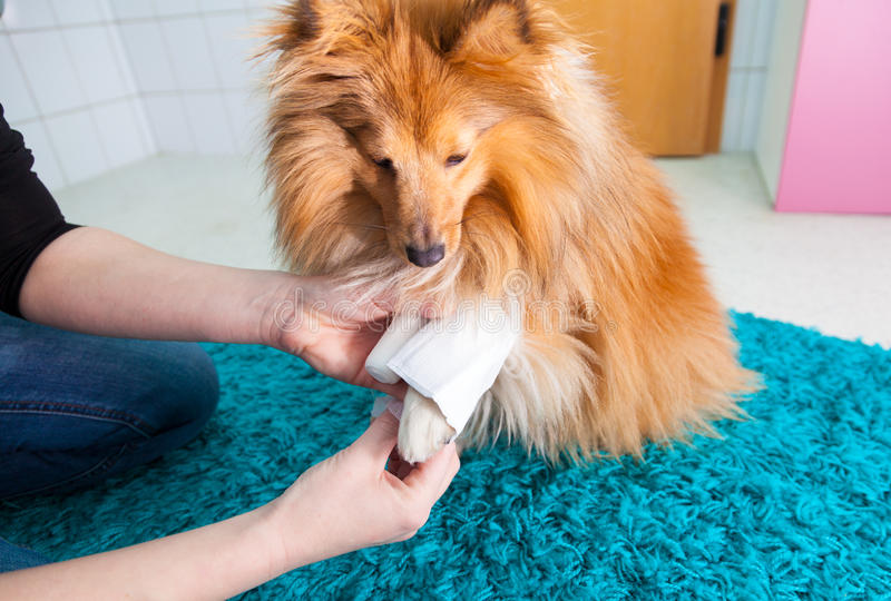 fasciatura umana un cane pastore di Shetland immagini stock libere da diritti