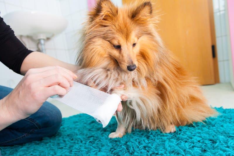 fasciatura umana un cane pastore di Shetland immagine stock libera da diritti