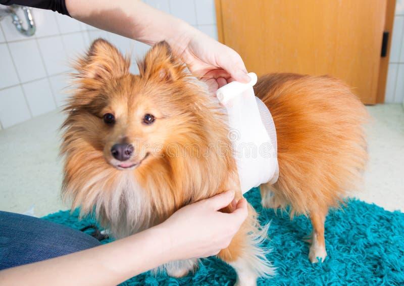 fasciatura umana un cane pastore di Shetland immagine stock