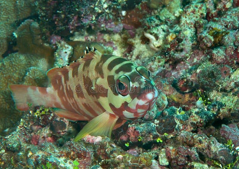 Fasciatus för Blacktip havsaborreEpinephelus som simmar över koraller av Bali, Indonesien royaltyfria foton