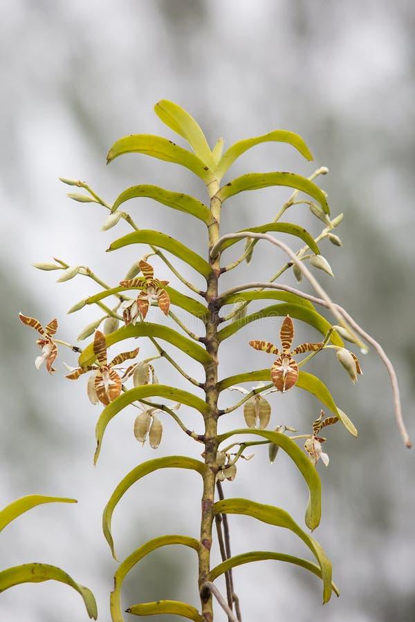 Fasciatus Rchb Staurochilus φ Ridl , στοκ εικόνες