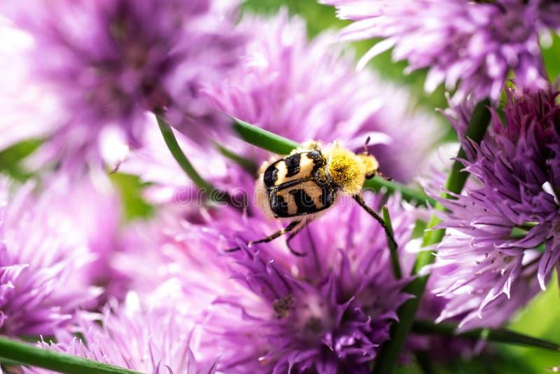 Fasciatus Trichius κανθάρων μελισσών στο λουλούδι κρεμμυδιών στοκ φωτογραφία με δικαίωμα ελεύθερης χρήσης