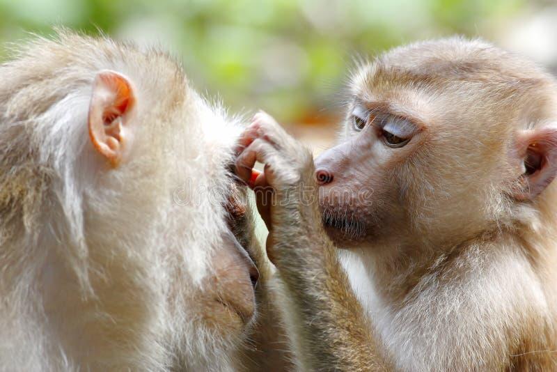Fascicularis de cola larga del Macaca del macaque de la Cangrejo-consumición del macaque imágenes de archivo libres de regalías