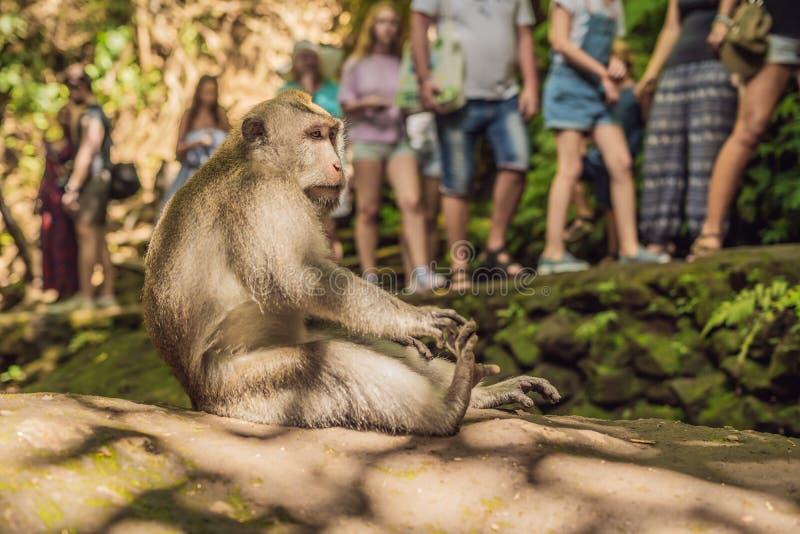 Fascicularis de cola larga del Macaca de los macaques en bosque sagrado del mono imagen de archivo libre de regalías