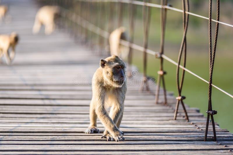 Fascicularis de Macaca, Crabe-mangeant le macaque se reposant sur Suspe en bois photos libres de droits